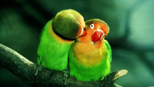Cute-Parrots-HD-Wallpaper